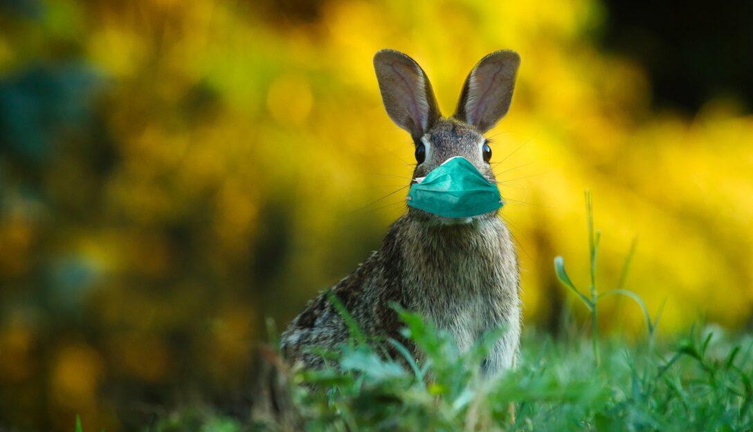 Zdjęcie przedstawia królika w maseczce ochronnej